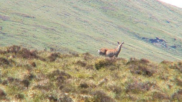 wild deer - on wicklow way hiking trail - wicklow mountains - ireland