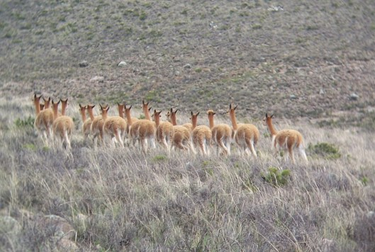 Wild Vicuna at the National Reserve of Pampas Galeras in Peru, South America