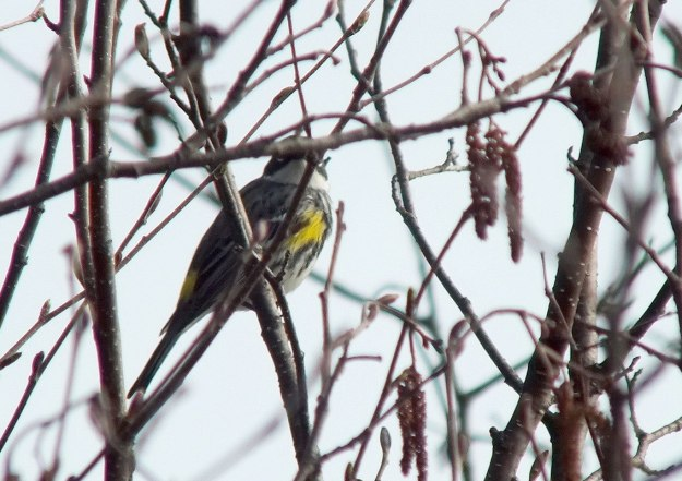 yellow rumped warbler - myrthle version - looks at me through tree limbs- oxtongue lake - ontario