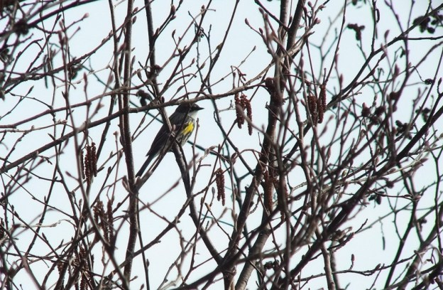 yellow rumped warbler - myrthle version - looks towards water in tree - oxtongue lake - ontario