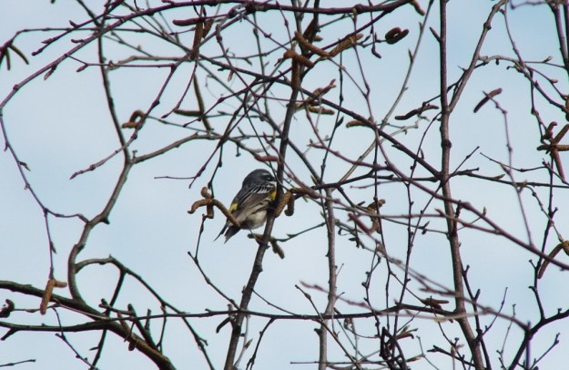 yellow rumped warbler - myrthle version - view of back - oxtongue lake - ontario