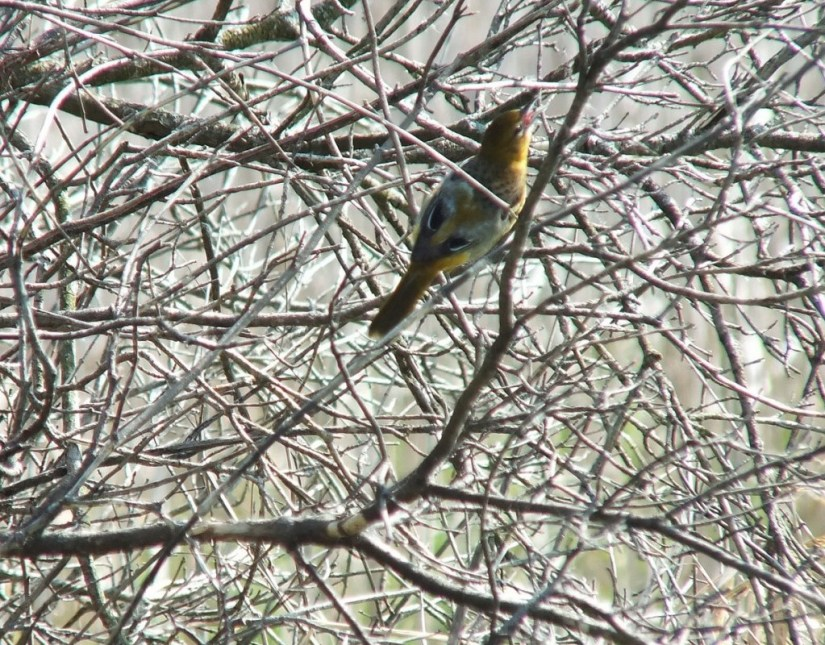 Baltimore Oriole female, back - Second Marsh - Oshawa - Ontario