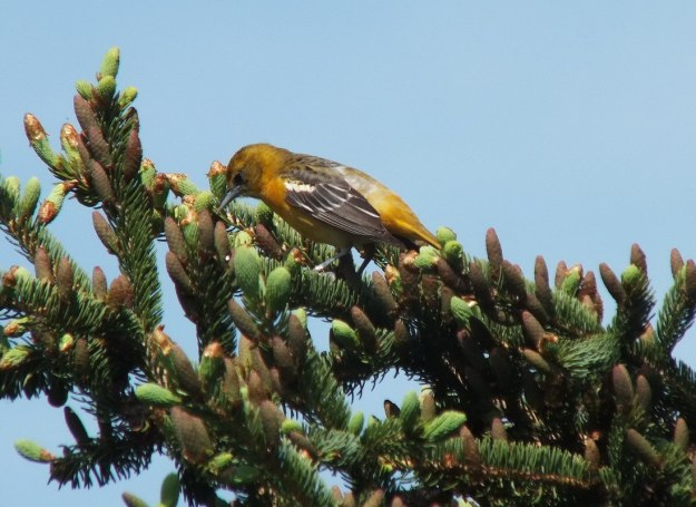 Baltimore Oriole, female - in spruce tree - Second Marsh - Oshawa - Ontario