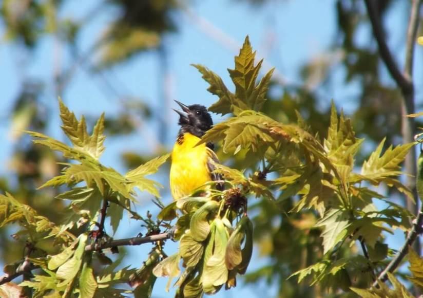 Baltimore Oriole male, sings - Second Marsh - Oshawa - Ontario