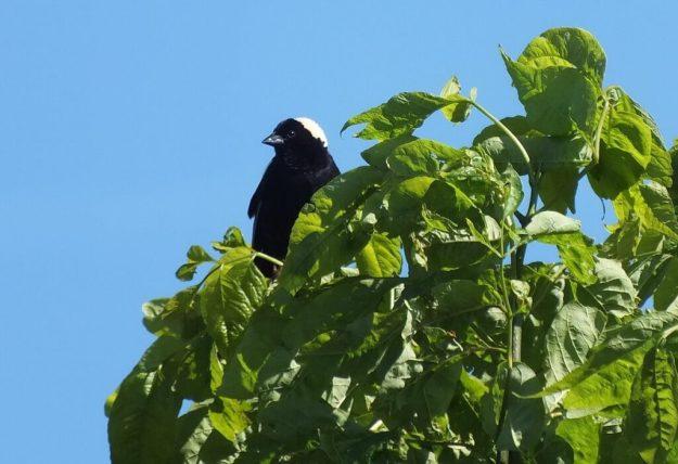 Bobolink sits amongst green leaves - forks of the credit provincial park - ontario