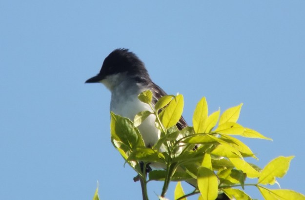Eastern Kingbird enjoys the sun - Second Marsh - Oshawa - Ontario