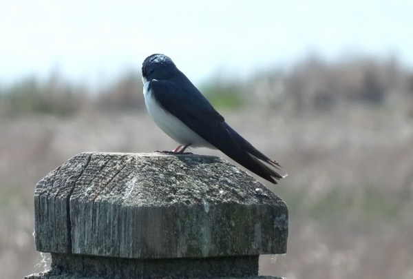 Tree Swallow looks at the marsh - Second Marsh - Oshawa - Ontario