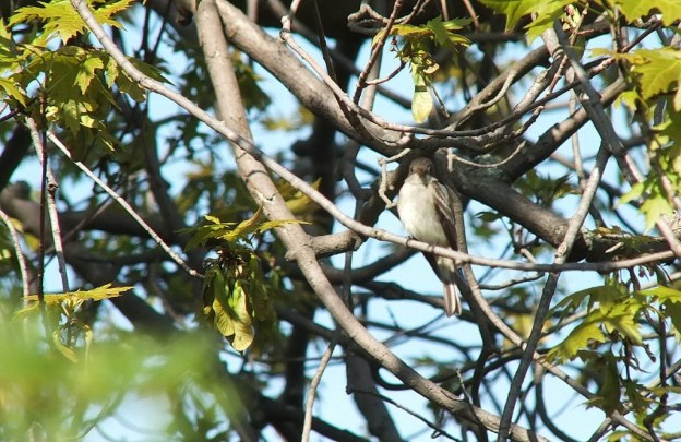 Willow Flycatcher looks at camera from tree - Second Marsh - Oshawa - Ontario