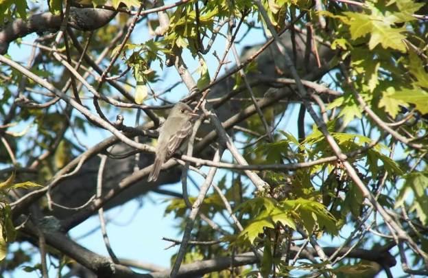 Willow Flycatcher sits in tree - Second Marsh - Oshawa - Ontario