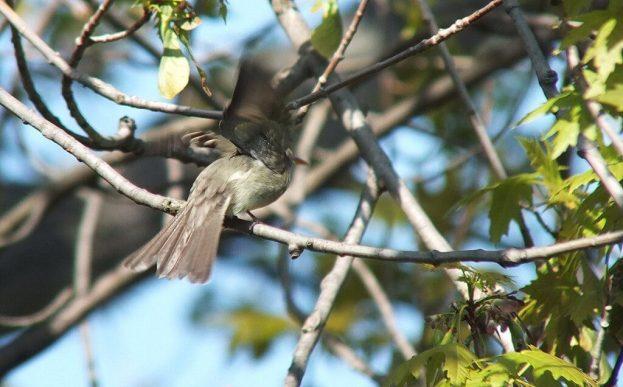 Willow Flycatcher takes flight from tree - Second Marsh - Oshawa - Ontario