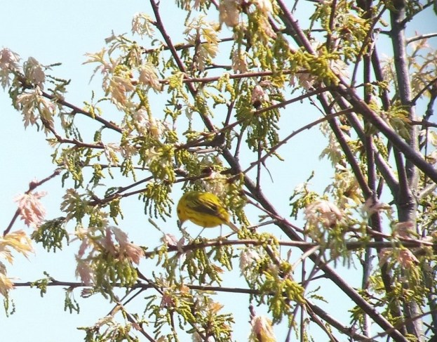 Yellow Warbler, male, in a tree - Second Marsh - Oshawa - Ontario