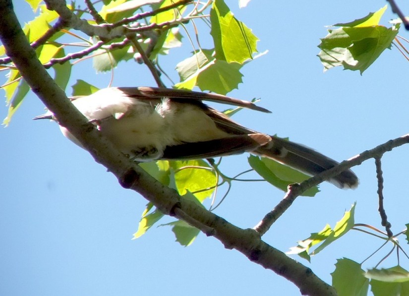 black billed cuckoo - long wing and tail feathers - forks of the credit - ontario
