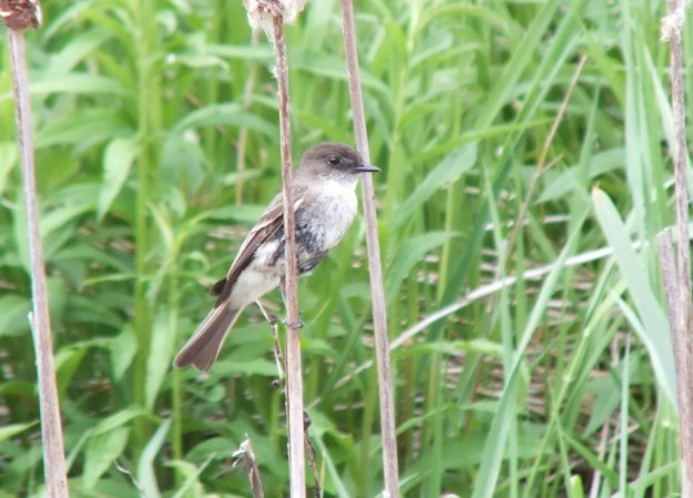 eastern phoebe - on bullrush stem - whitevale - ontario
