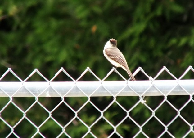 eastern phoebe - on fence - green river - whitevale - ontario