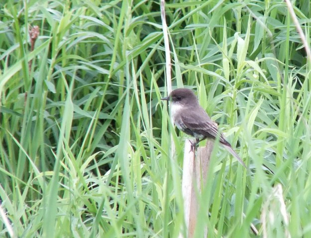 eastern phoebe - stands atop wooden stake - whitevale - ontario