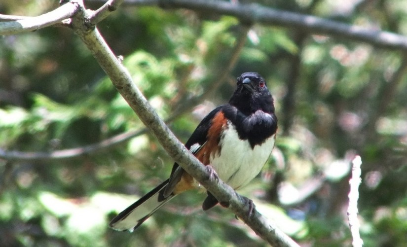 eastern towhee gives me a look - trans canada trail - forks of the credit - caledon - ontario