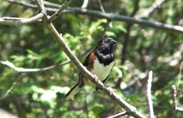 eastern towhee stares ahead - trans canada trail - forks of the credit - caledon - ontario