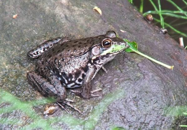 green frog - profile - seaton trail - green river - whitevale - ontario