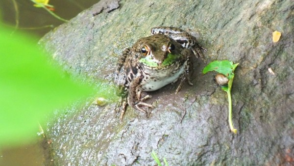 green frog - sits on rock - seaton trail - green river - whitevale - ontario