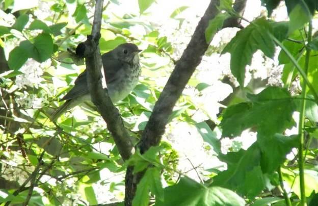 hermit thrush - in tree - toronto - ontario