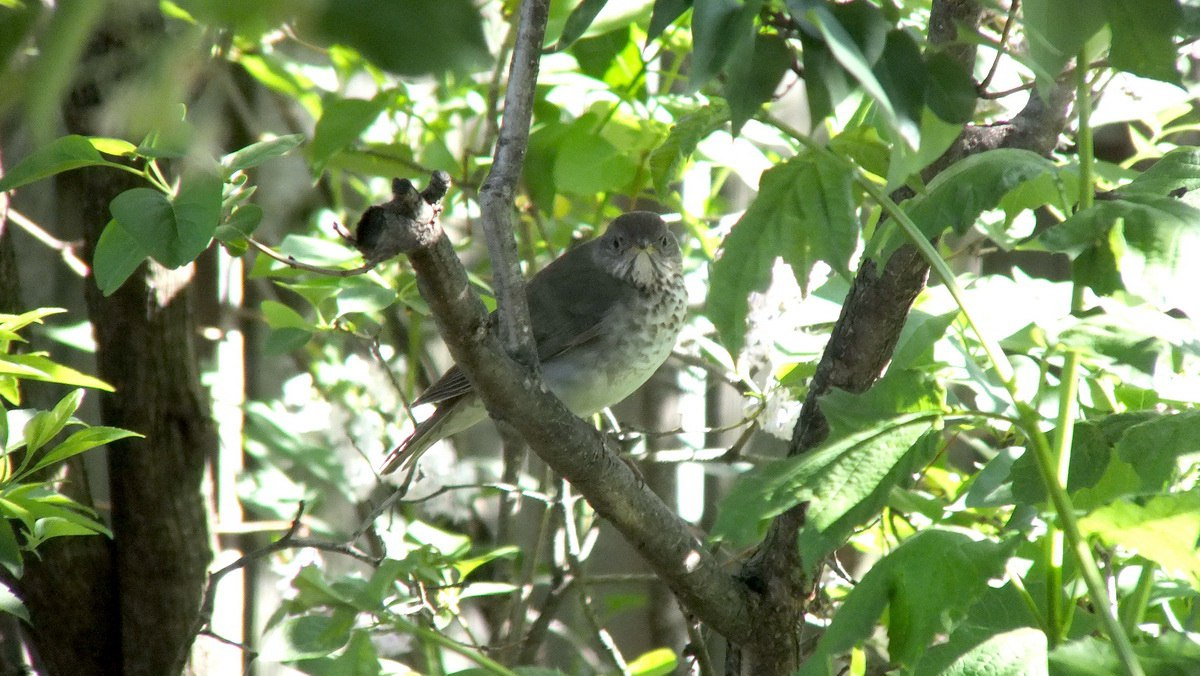 a hermit thrush hides in our toronto lilac bush