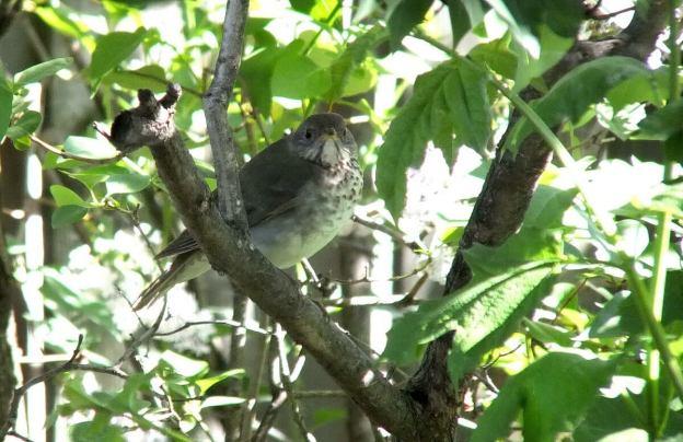 hermit thrush - -- - toronto - ontario
