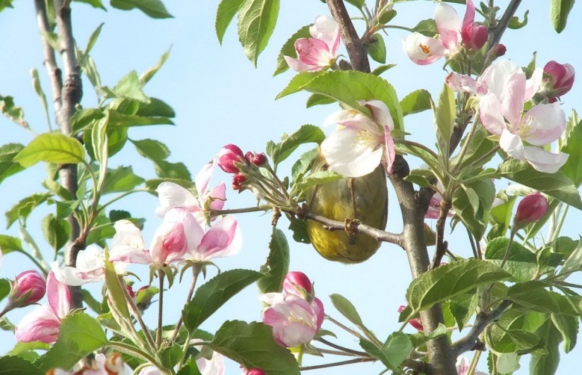 nashville warbler - feet and feathers in pink flowers - toronto - ontario
