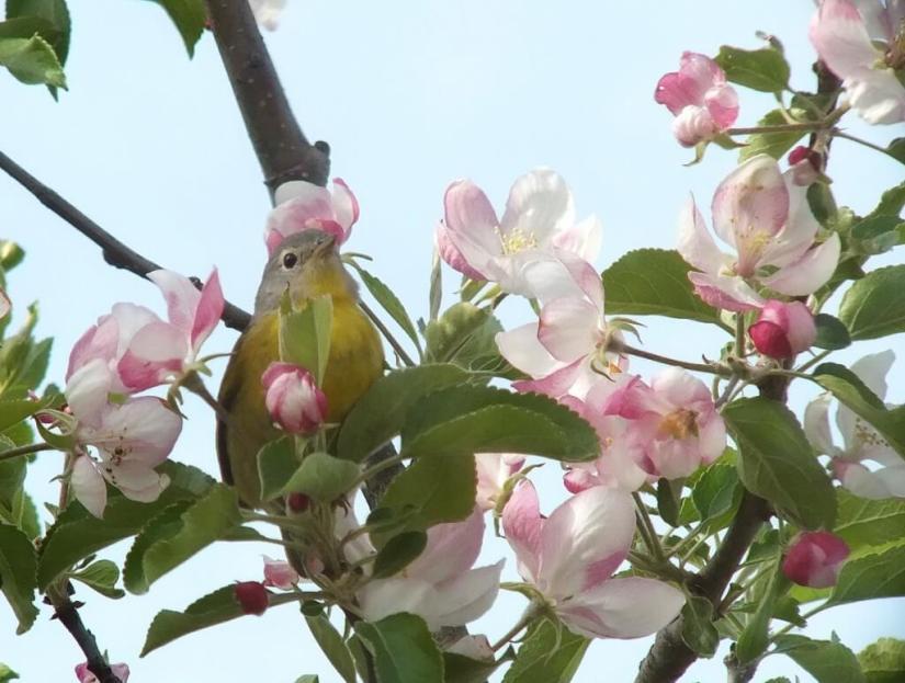 nashville warbler - looks ahead in tree - toronto - ontario