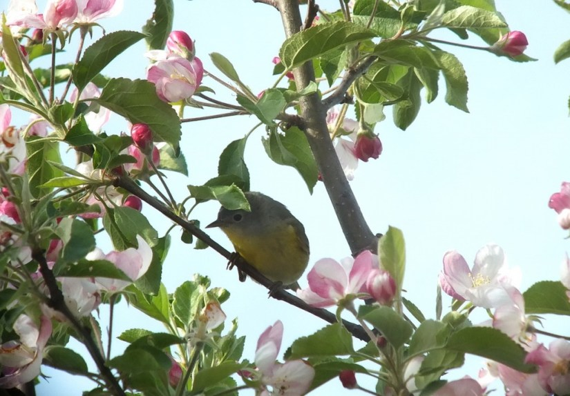 nashville warbler - looks right in sea of pink apple blossoms - toronto - ontario