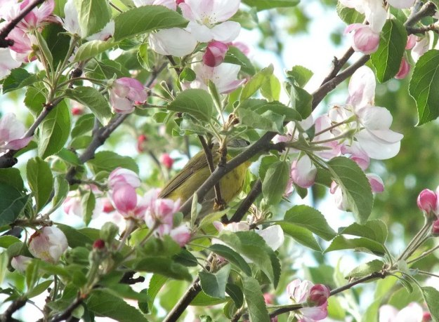 nashville warbler - lost in apple blossoms - toronto - ontario