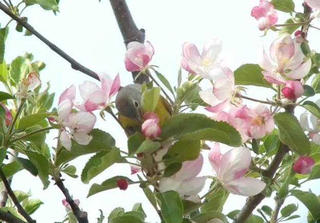 nashville warbler - picks at pink apple blossom with tongue - toronto - ontario