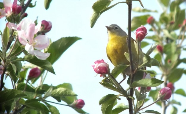 nashville warbler - stands tall among pink apple blossom with tongue - toronto - ontario