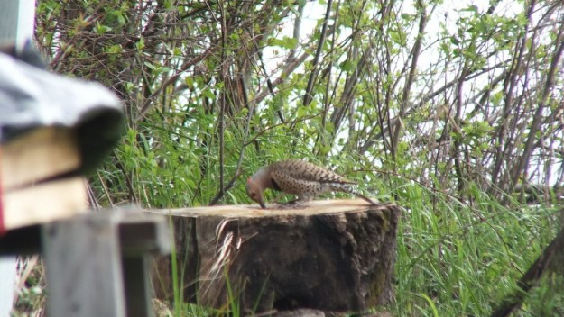 northern flicker hunts for bugs in stump - oxtongue lake - ontario