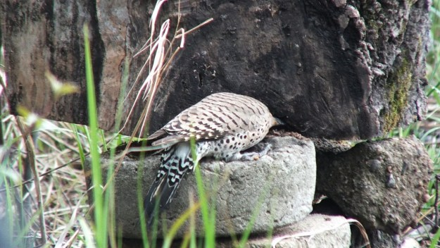 northern flicker - hunts for grubs on stump - oxtongue lake - ontario