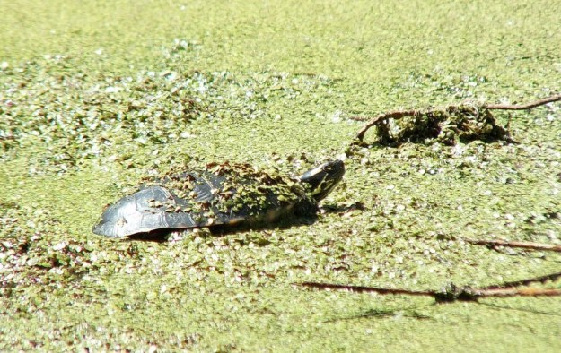 painted turtle - in pond - near forks of the credit - ontario