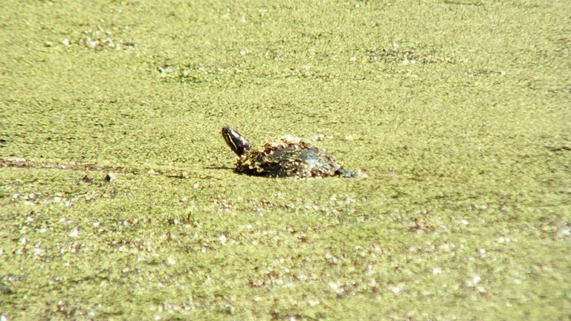 painted turtle - sits in green slime in pond - near forks of the credit - ontario