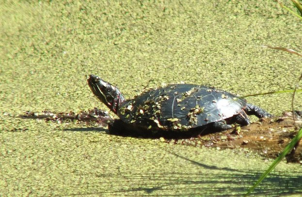 painted turtle - sits in pond near forks of the credit - ontario