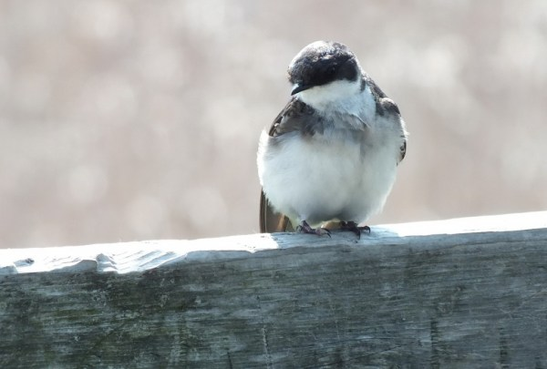 tree swallow fledgling - looks at our camera - second marsh - oshawa - ontario
