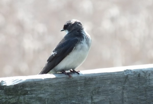 tree swallow fledgling - second marsh - oshawa - ontario
