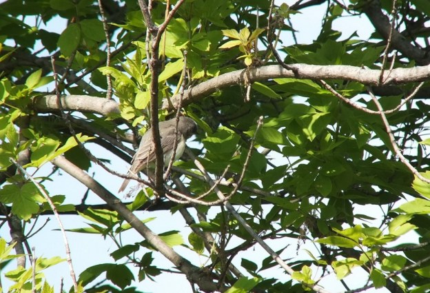 warbling vireo - looks under tree limbs- second marsh - oshawa - ontario