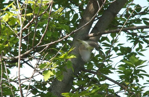 warbling vireo - takes flight - second marsh - oshawa - ontario