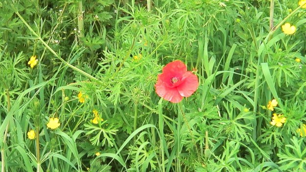 red poppy growing in field at brownshill portal tomb - county carlow - ireland