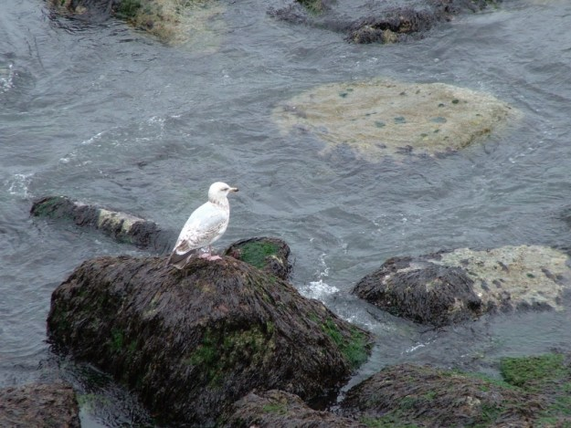 seagull sits on a rock in harbour at dunmore east in county waterford - ireland