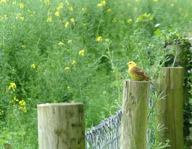 yellowhammer bird sitting on fence post - ireland