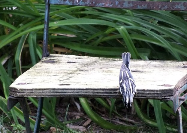Black-and-white Warbler - looks under garden chair - Frame To Frame Bob & Jean