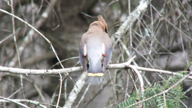 Cedar Waxwing, back and tail, oxtongue lake heron rookery, ontario