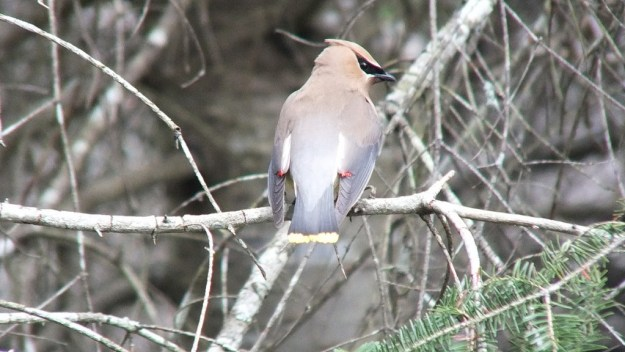 Cedar Waxwing, looks to camera, oxtongue lake heron rookery, ontario