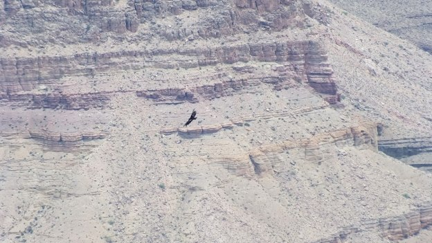 Condor in flight through Grand Canyon