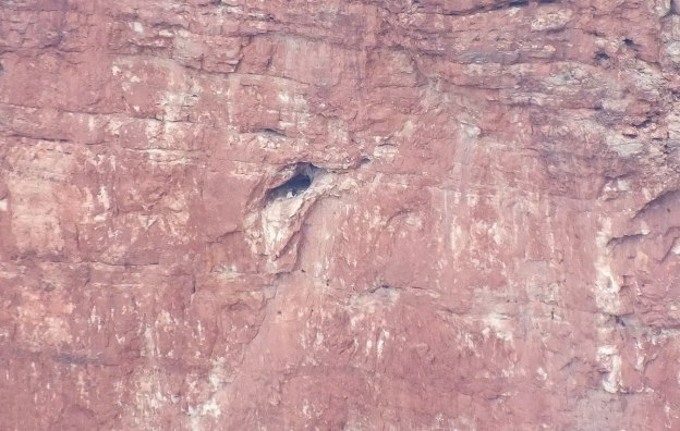 Condor sits in entrance of Battleship Nest - Grand Canyon