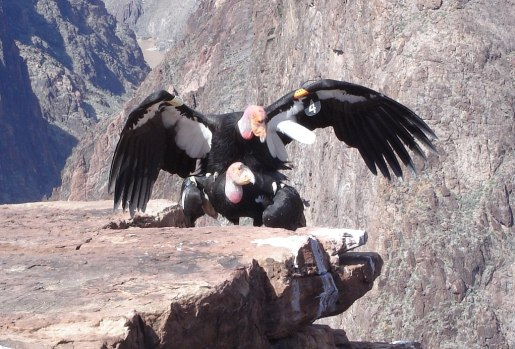 Condors number 4 and 80 mating on the south rim at Grand Canyon National Park in Arizona, USA